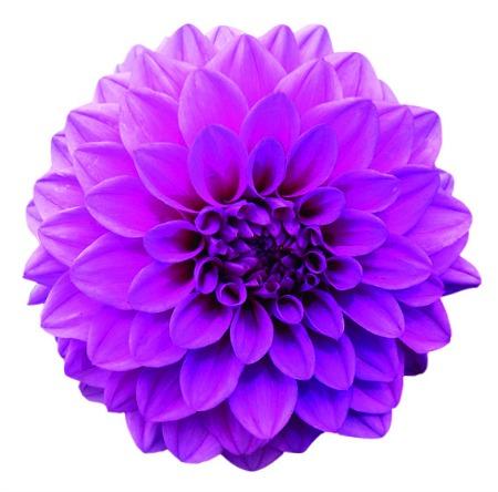 cvijet lila