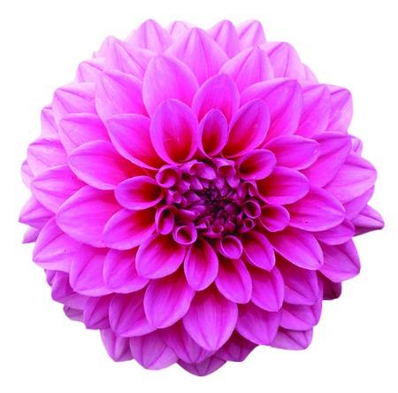 cvijet pink copy